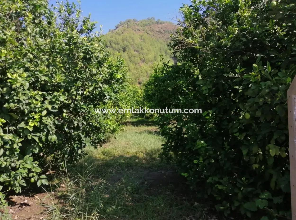Ortacada Satılık Limon Bahçesi