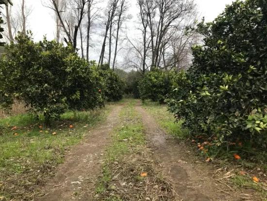 Köyceğiz Beyobası Nda Satılık 19570 M2 Verimli Arazi